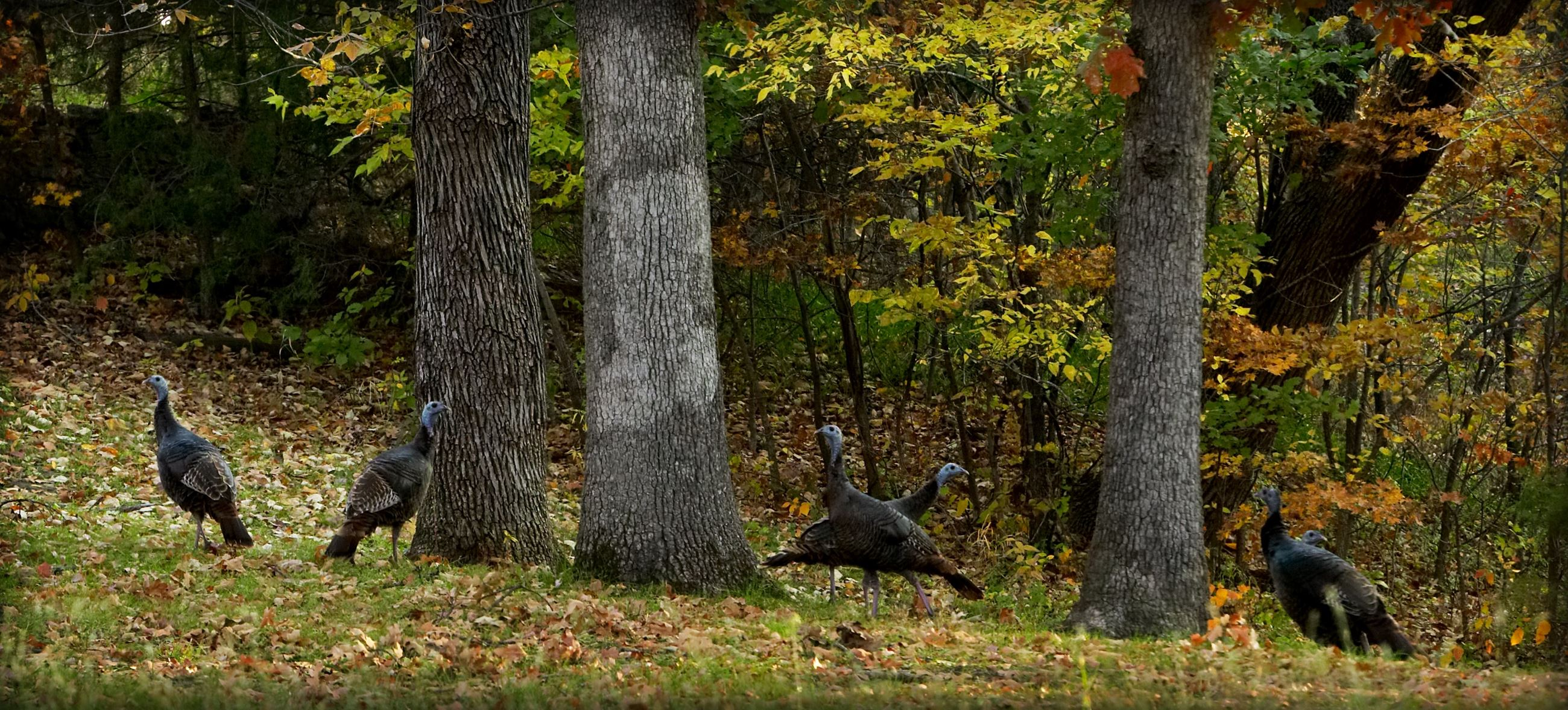 Turkeys in Gunn Park